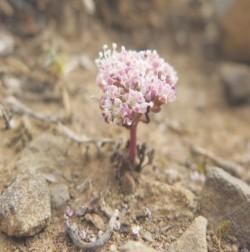 Αποκλειστικά στον Ψηλορείτη εντοπίζεται το συγκεκριμένο σπάνιο λουλούδι