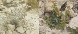 Δύο φυτά η Reseda Minoica (δεξιά) και το Limonium Creticum