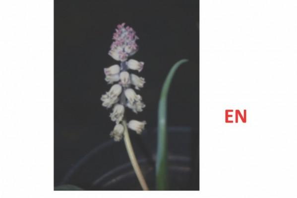 • Η Bellevalia Brevipedicellata, που είναι ενδημικό φυτό και από το 2009 έχει χαρακτηριστεί ως είδος υπό εξαφάνιση.