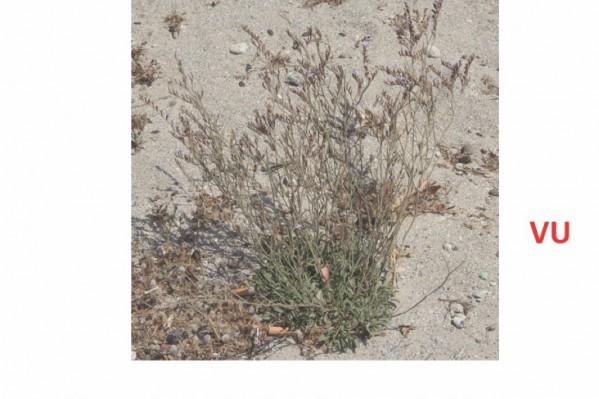 • Το Limonium Elaphonisicum που εντοπίζεται αποκλειστικά στο Λαφονήσι.