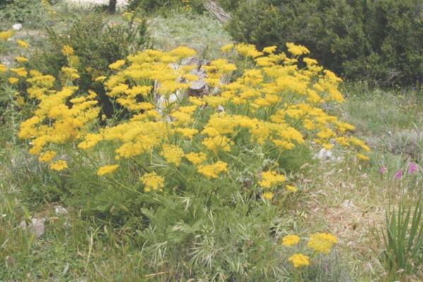 Στην περιοχή του Ομαλού θα γίνει προσπάθεια να φυτευτούν Chaerophyllum creticum