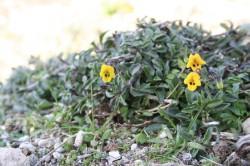 6 Viola scorpiuroides