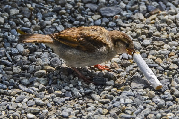 Was very sad to see this Sparrow fledgling trying to eat a cigarette butt thinking of it as food! I hope this picture reaches people around the world and make people think twice before littering and causing danger to the innocent animals around us. Took this picture in Switzerland and yes, I did not let the bird eat that!