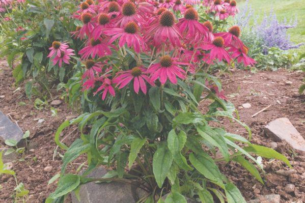 Εχινάκεια η στενόφυλλη  ή πορφυρή (Echinacea purpurea)