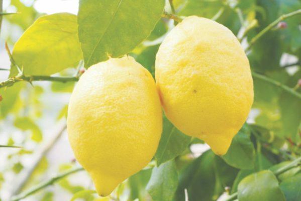 Κιτρέα η λεμονέα  (λεμονιά) (Citrus limon)