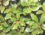 Δάφνη η ευγενής (Δάφνη) (Laurus nobilis)