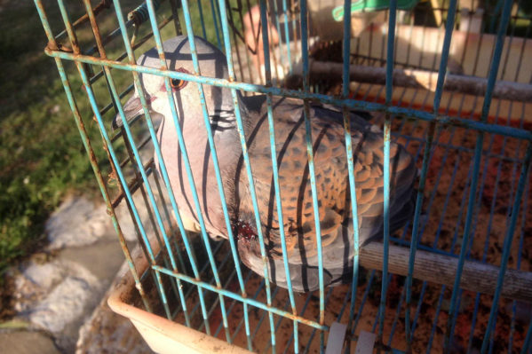 Το ανοιξιάτικο κυνήγι, παράνομο ήδη από το 1983 στη χώρα μας, αποτελεί πραγματικό έγκλημα απέναντι στα εξουθενωμένα και αδυνατισμένα Τρυγόνια, μετά το δύσκολο ταξίδι τους: ένα έγκλημα με στόχο πουλιά που έρχονται για να φωλιάσουν! Το φαινόμενο είναι ιδιαίτερα έντονο στα Ιόνια Νησιά, που παρά τις δεκαετίες απαγόρευσης, εξακολουθεί να θεωρείται από μερίδα του τοπικού πληθυσμού «παραδοσιακή» δραστηριότητα