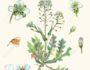 Botanical illustration of a herb of Shepherd's purse (Capsella bursa-pastoris). Watercolor drawing.