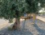 Αμπεριά - «κρυμμένη» κάτω από την ελιά, δεκάδες μέτρα από την παιδική χαρά